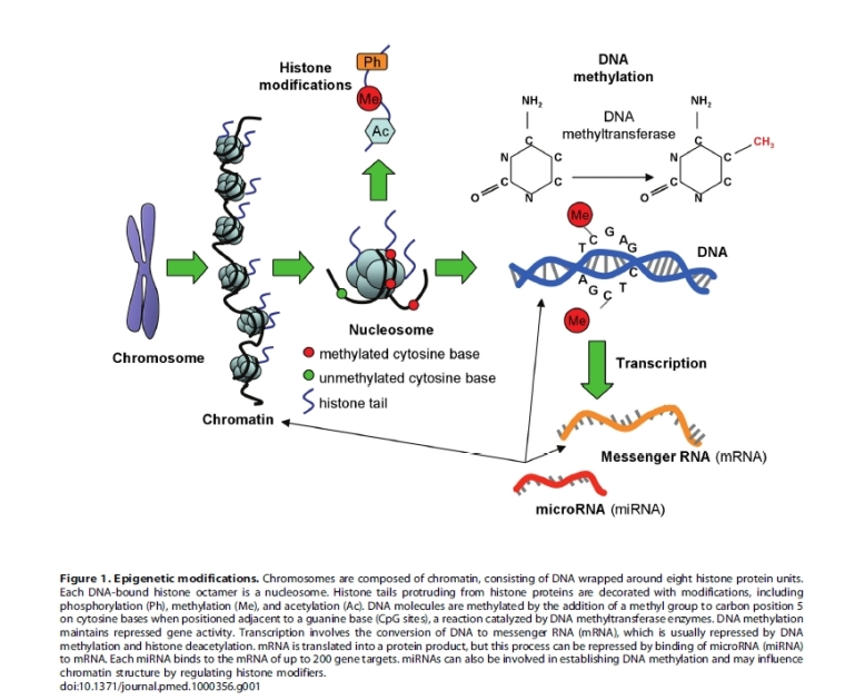Epigenetic modifications