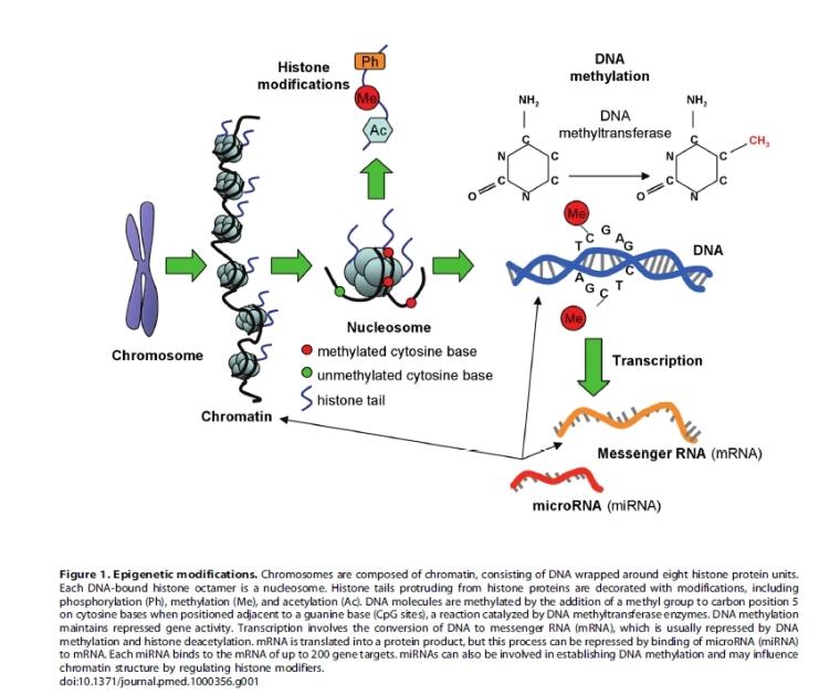 Epigenetic modifications